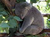 Baby Koala Bear Wallpaper