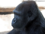 Black Gorilla Wallpaper