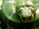 Emeral Tree Boa Wallpaper