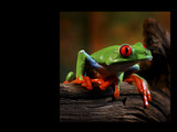 Frogs Wallpaper