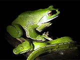 Green Tree Python Frog Wallpaper