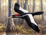 Ivory Billed Woodpecker Wallpaper