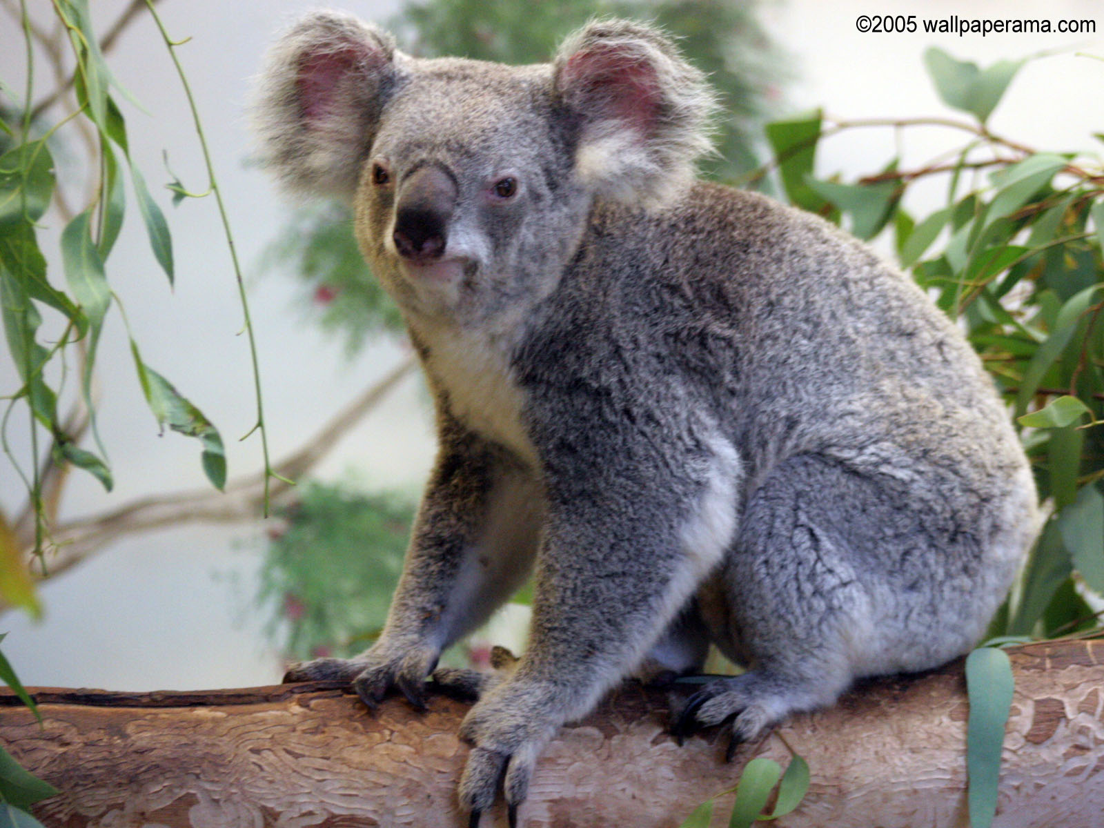 Koala Bear Wallpaper Free Hd Backgrounds Images Pictures