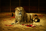 Lion Having Fun In Ring Wallpaper