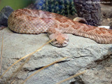 Rattle Snake Wallpaper