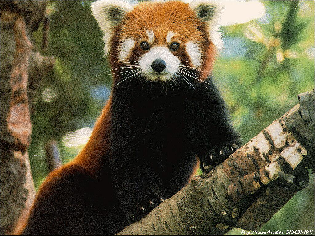 red panda wallpaper free hd backgrounds images pictures