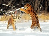 Tigers Playing Wallpaper