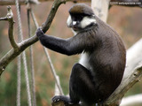 White Nose Monkey Wallpaper