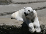 White Polar Bear Wallpaper