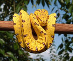 Yellow Tree Python Wallpaper
