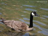 Canadian Goose Wallpaper