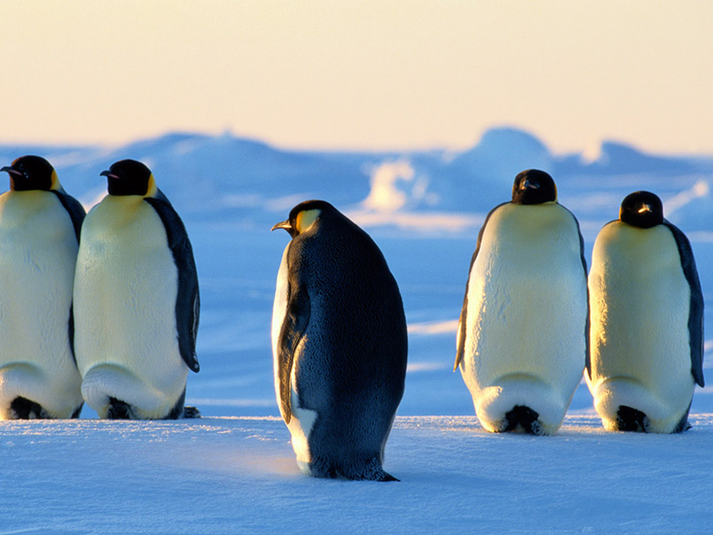 Emperor Penguin Wallpaper