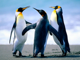 Emperor Penguins Wallpaper