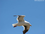 Flying Seagull Wallpaper