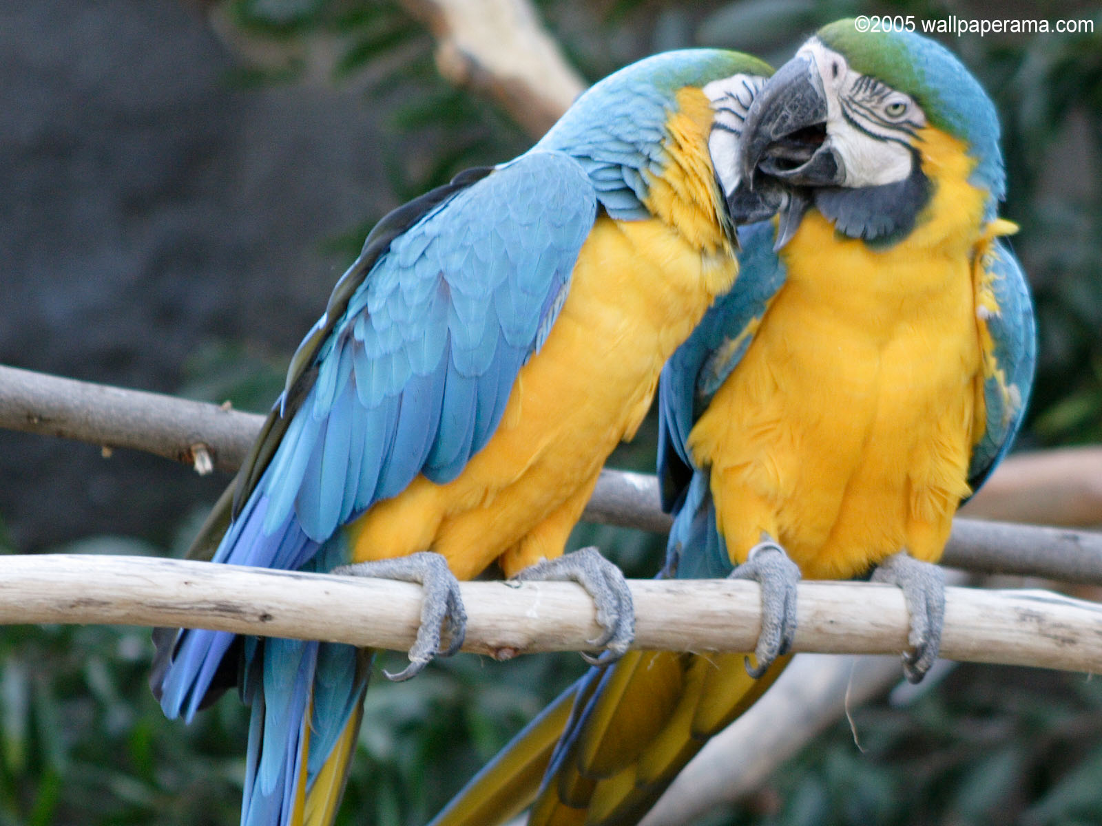Macaws Wallpaper