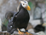 Puffin Wallpaper
