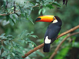 Tucan Bird Wallpaper