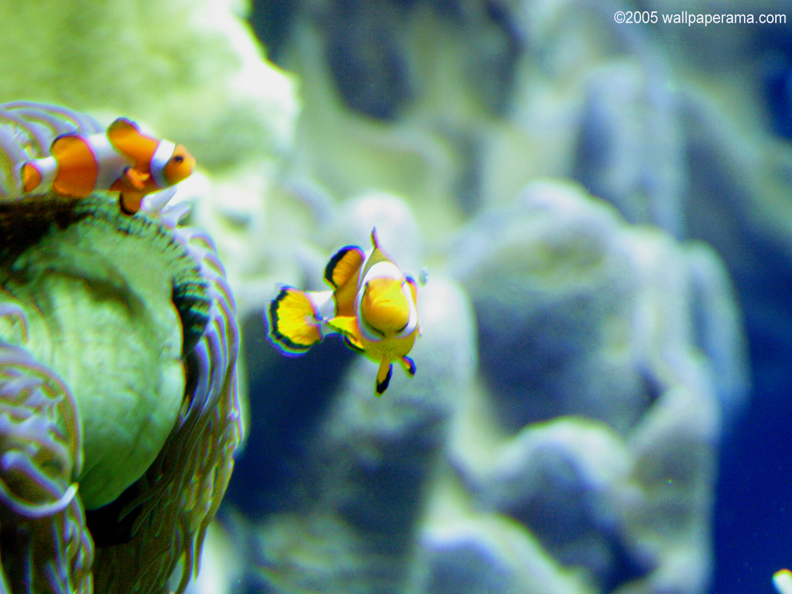 Anemonefish Wallpaper