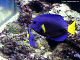 Blue Fish Wallpaper