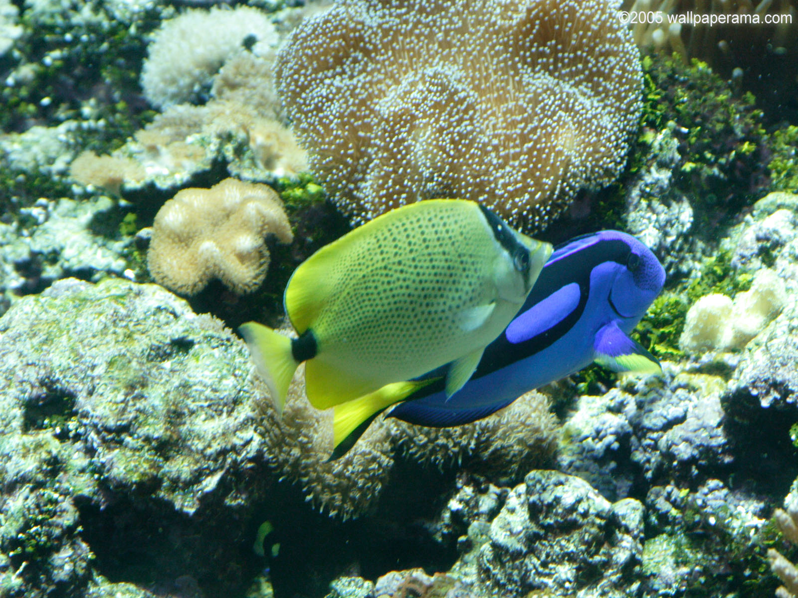 Blue Tang Wallpaper