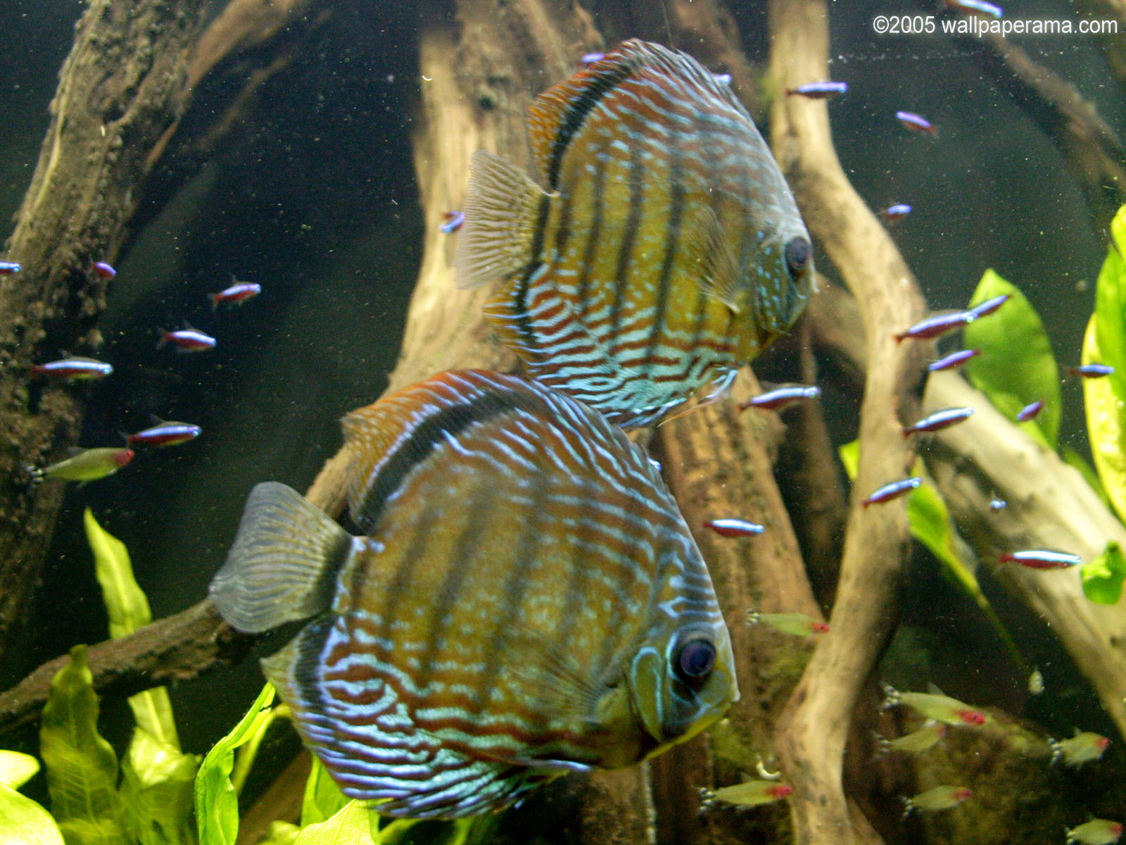 Cichlids Wallpaper