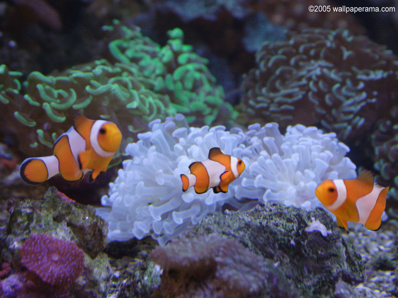 Clown Fish Aquarium Wallpaper Free Hd Backgrounds Images