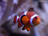Clown Fish Close Up Wallpaper
