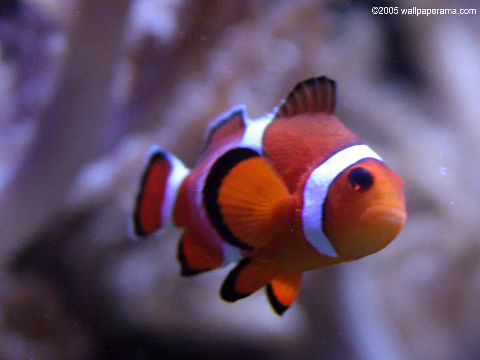 Clown fish close up wallpaper free hd backgrounds images for Closest fish store