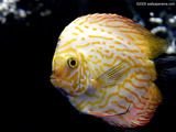 Discus Fish Wallpaper