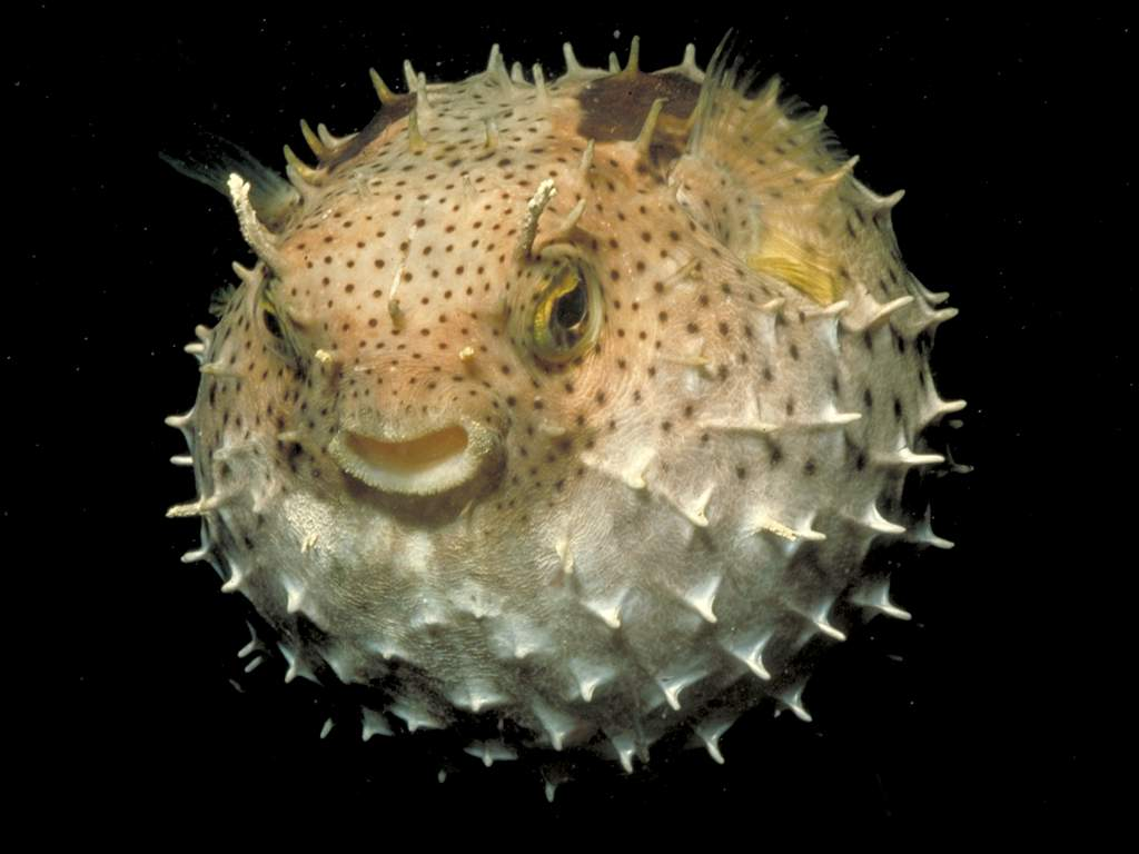 Puffer fish wallpaper free hd backgrounds images pictures for What is a puffer fish