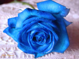 Blue Rose 1494 Wallpaper