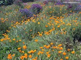 California Poppy Patch Wallpaper