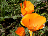 California Poppy Wallpaper