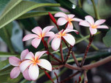 Frangipani Flowers Wallpaper