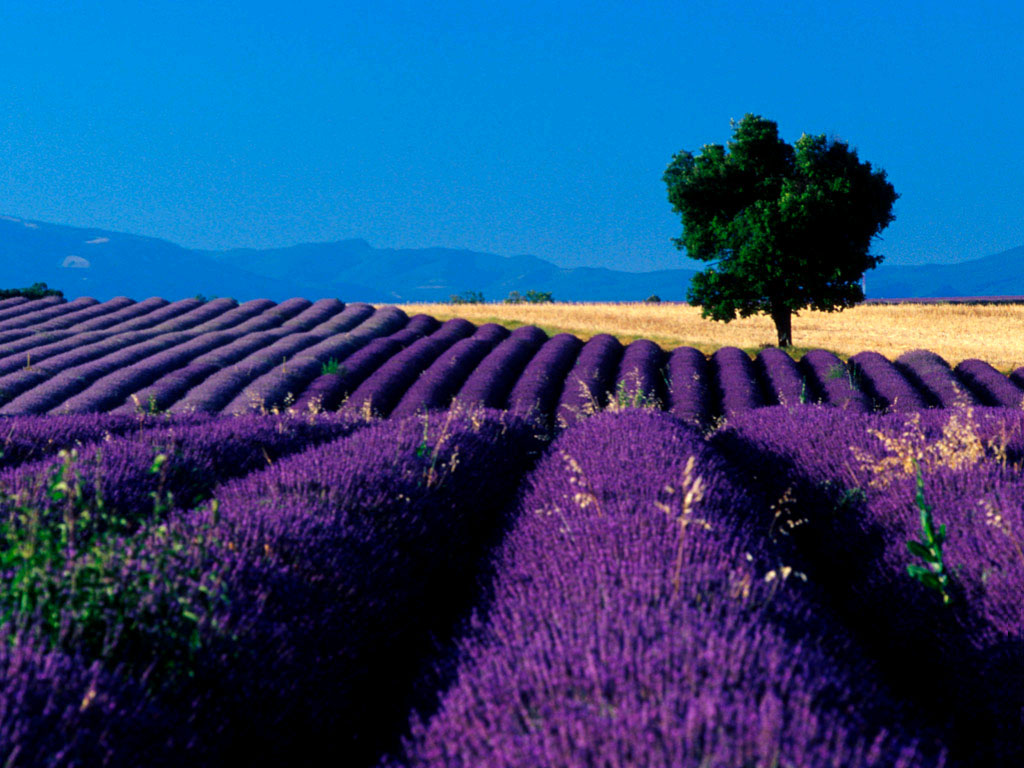 Lavender Wallpaper Free HD Backgrounds Images Pictures