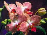 Orchids Wallpaper