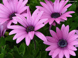 Purple Daises Wallpaper