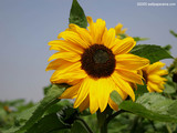 Sun Flower Wallpaper