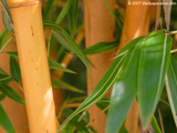 Allgold Bamboo Wallpaper