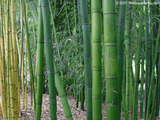 Bamboo Garden Wallpaper