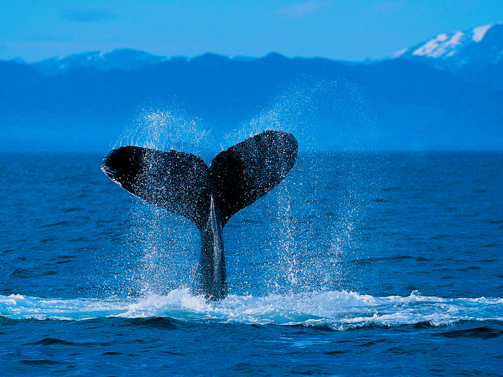 humpback whale wallpaper free hd backgrounds images pictures