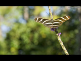 Zebra Butterfly Wallpaper
