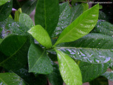 Gardena Leaves Wallpaper