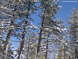 Sugar Pine Tree Wallpaper